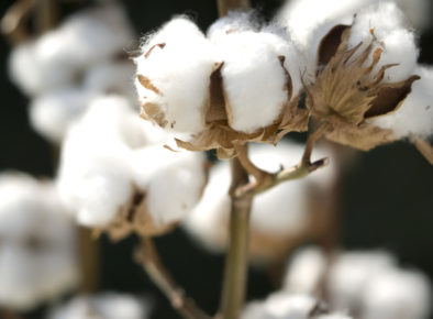 CRDC: 25 years of cotton research, development and extension